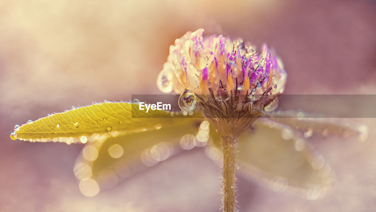 flower, fragility, nature, beauty in nature, freshness, petal, flower head, growth, plant, close-up, purple, drop, water, no people, outdoors, wet, day, leaf