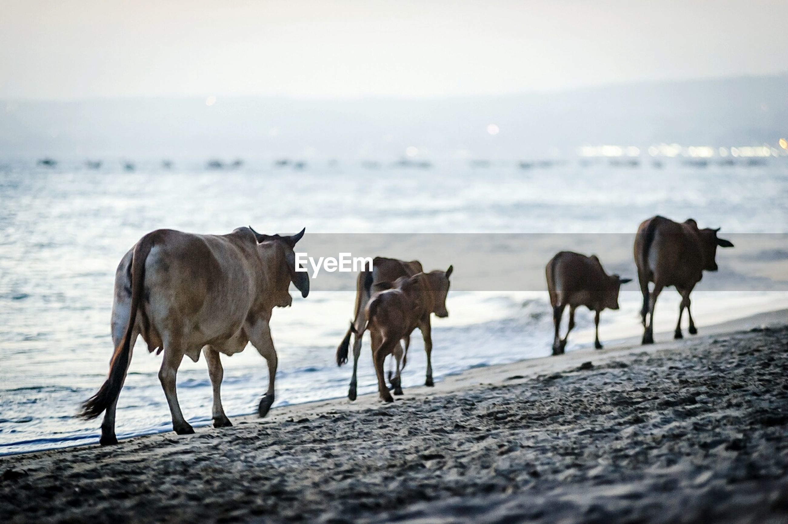 Cows walking at beach