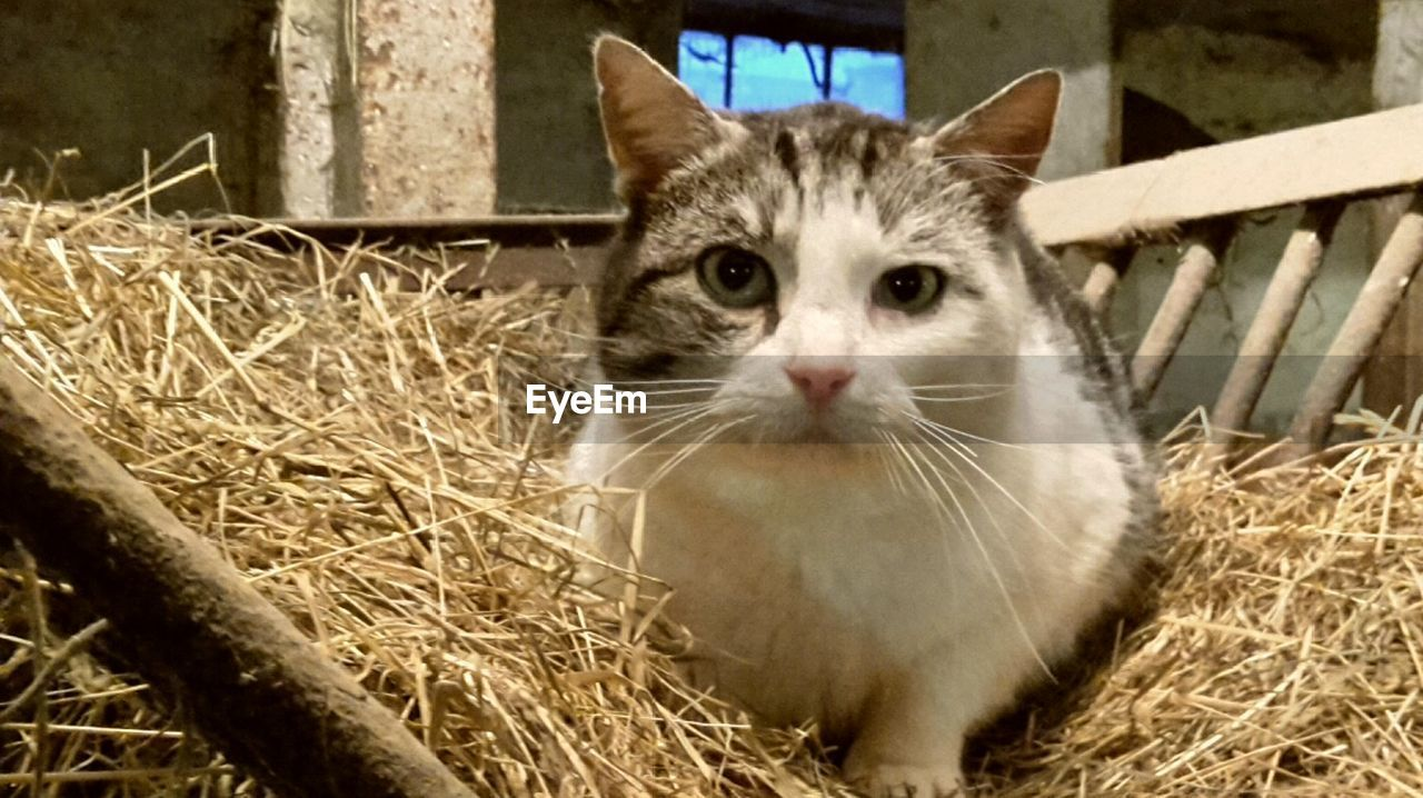 looking at camera, animal themes, hay, one animal, domestic cat, domestic animals, portrait, pets, mammal, feline, indoors, sitting, day, no people, grass, close-up