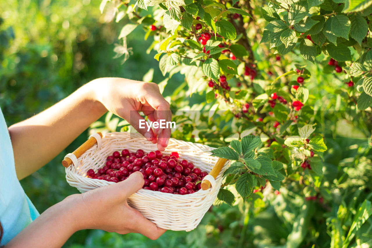 food and drink, healthy eating, fruit, food, berry fruit, human hand, freshness, one person, hand, holding, human body part, focus on foreground, agriculture, wellbeing, real people, plant part, plant, basket, nature, leaf, ripe, outdoors