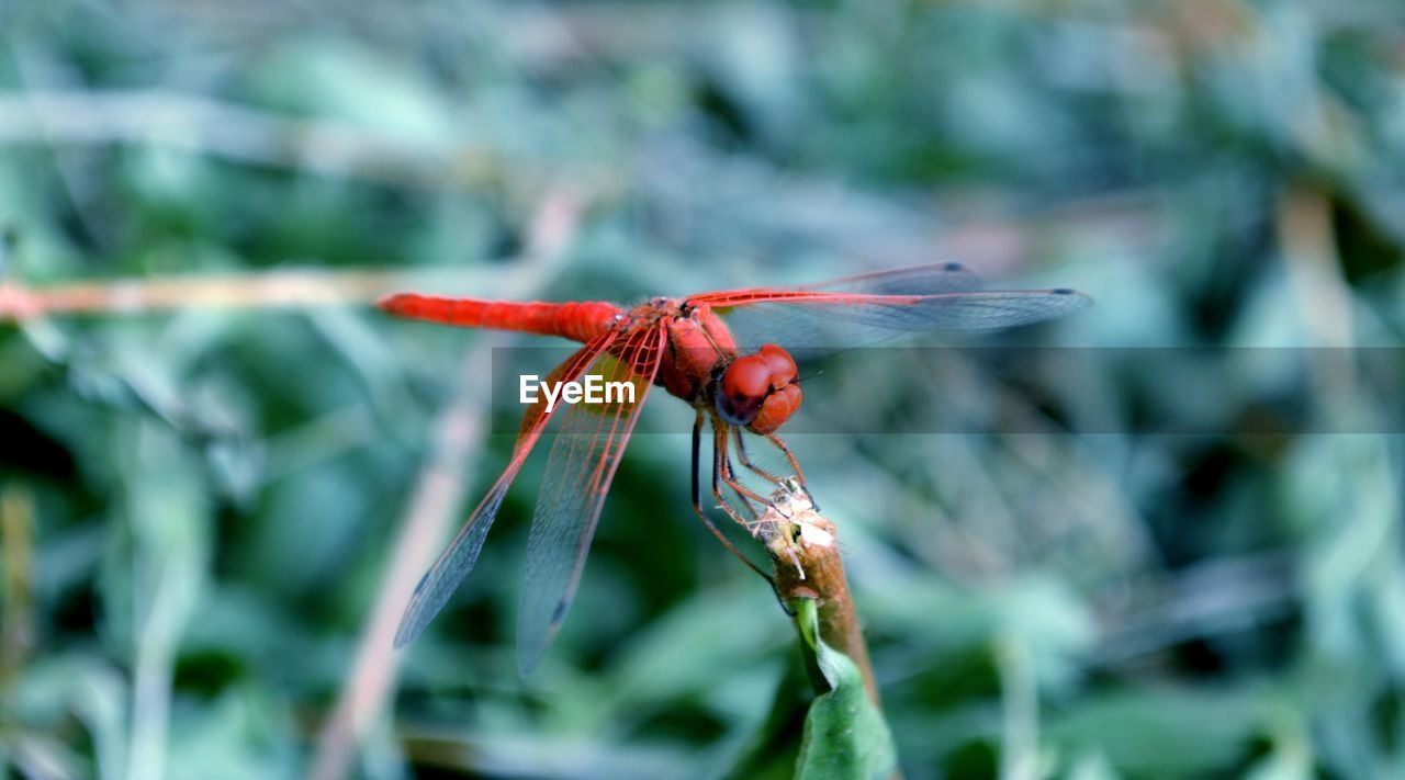 animal wildlife, animals in the wild, one animal, invertebrate, insect, animal themes, plant, animal, close-up, focus on foreground, red, beauty in nature, dragonfly, animal wing, no people, growth, day, nature, green color, flower, outdoors, flower head