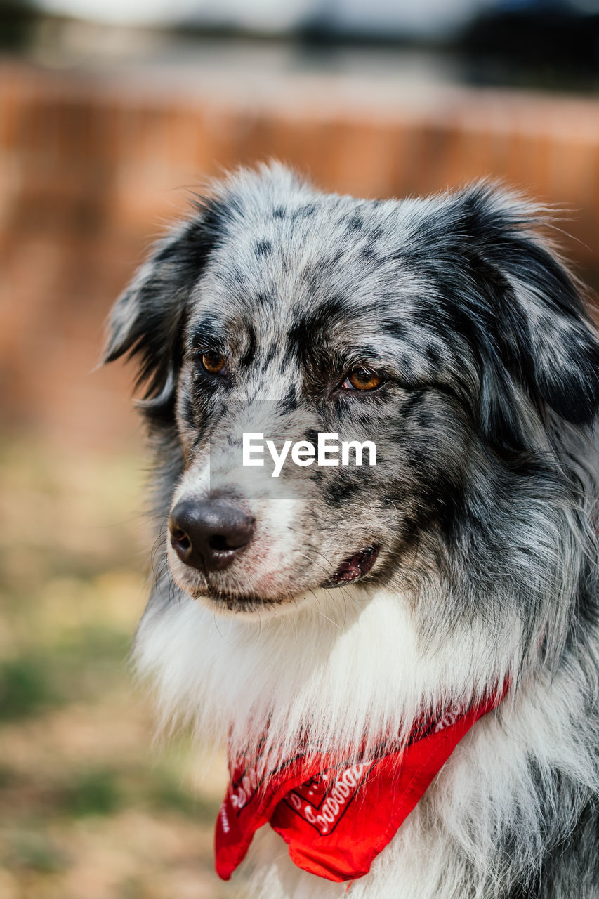 canine, dog, one animal, pets, domestic, domestic animals, animal themes, animal, mammal, focus on foreground, close-up, portrait, vertebrate, looking at camera, animal hair, no people, day, looking, animal body part, red, animal head, border collie, purebred dog