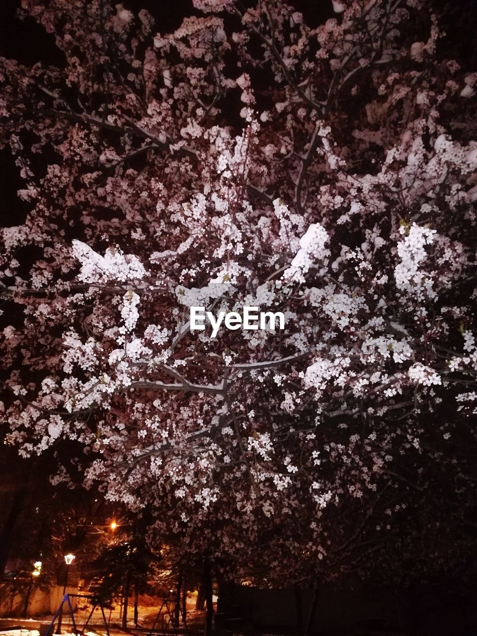 tree, plant, flower, flowering plant, growth, fragility, beauty in nature, blossom, freshness, nature, no people, springtime, cherry blossom, branch, low angle view, vulnerability, cherry tree, outdoors, night, pink color