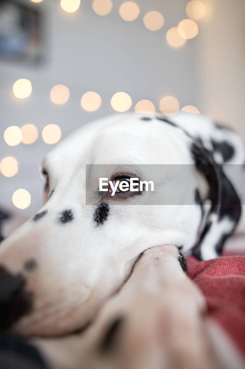 dog, pets, one animal, domestic animals, animal themes, mammal, dalmatian dog, canine, animal head, purebred dog, close-up, portrait, looking at camera, no people, indoors, illuminated, night