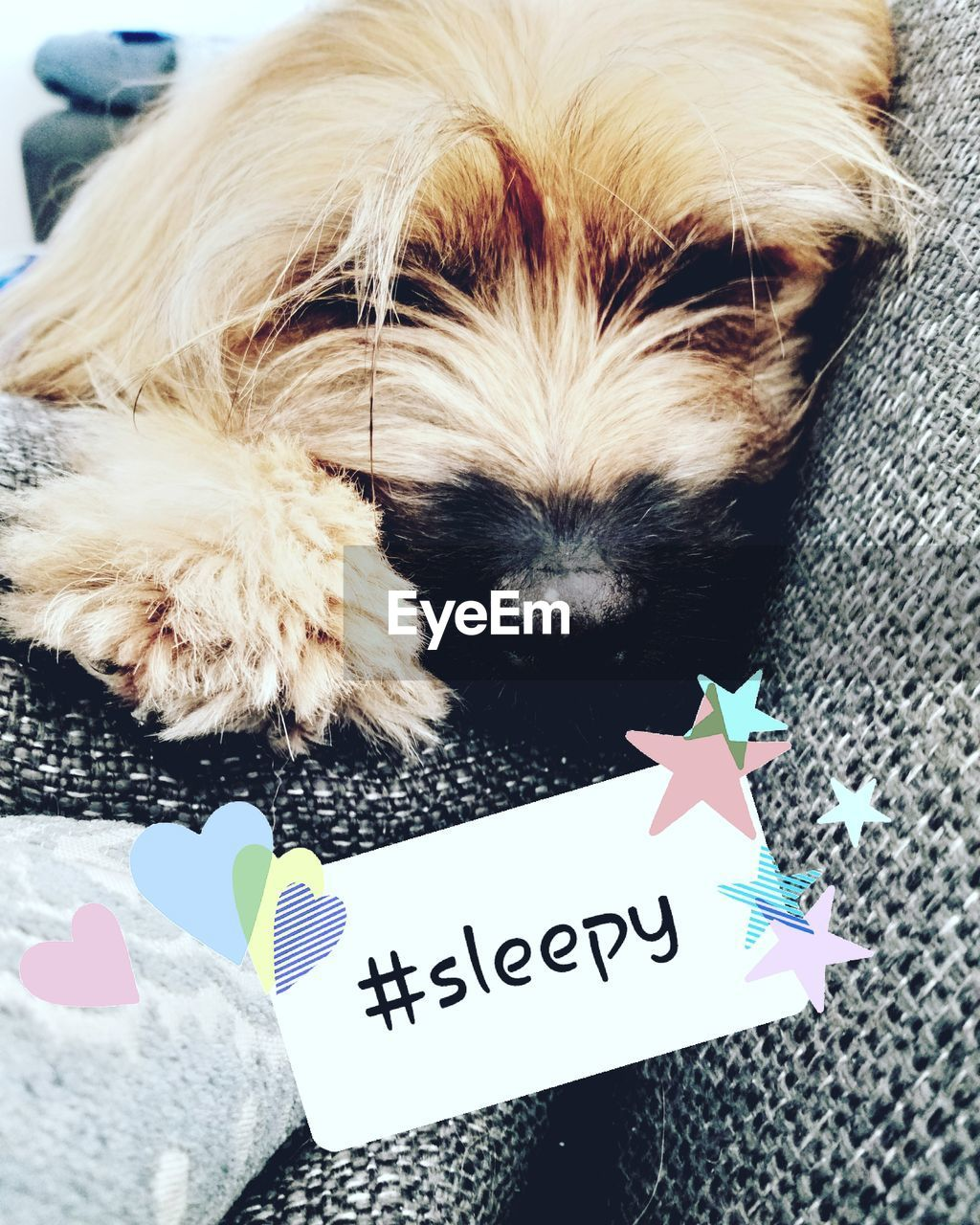 animal, animal themes, one animal, vertebrate, mammal, domestic, canine, domestic animals, dog, pets, close-up, no people, relaxation, indoors, high angle view, animal hair, communication, day, text, home interior, shih tzu