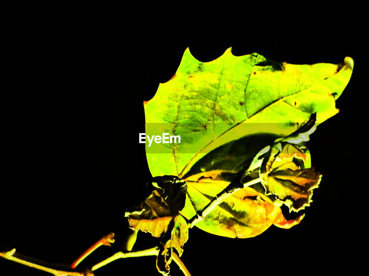 leaf, insect, one animal, animal themes, animals in the wild, close-up, no people, nature, black background, outdoors, day, beauty in nature