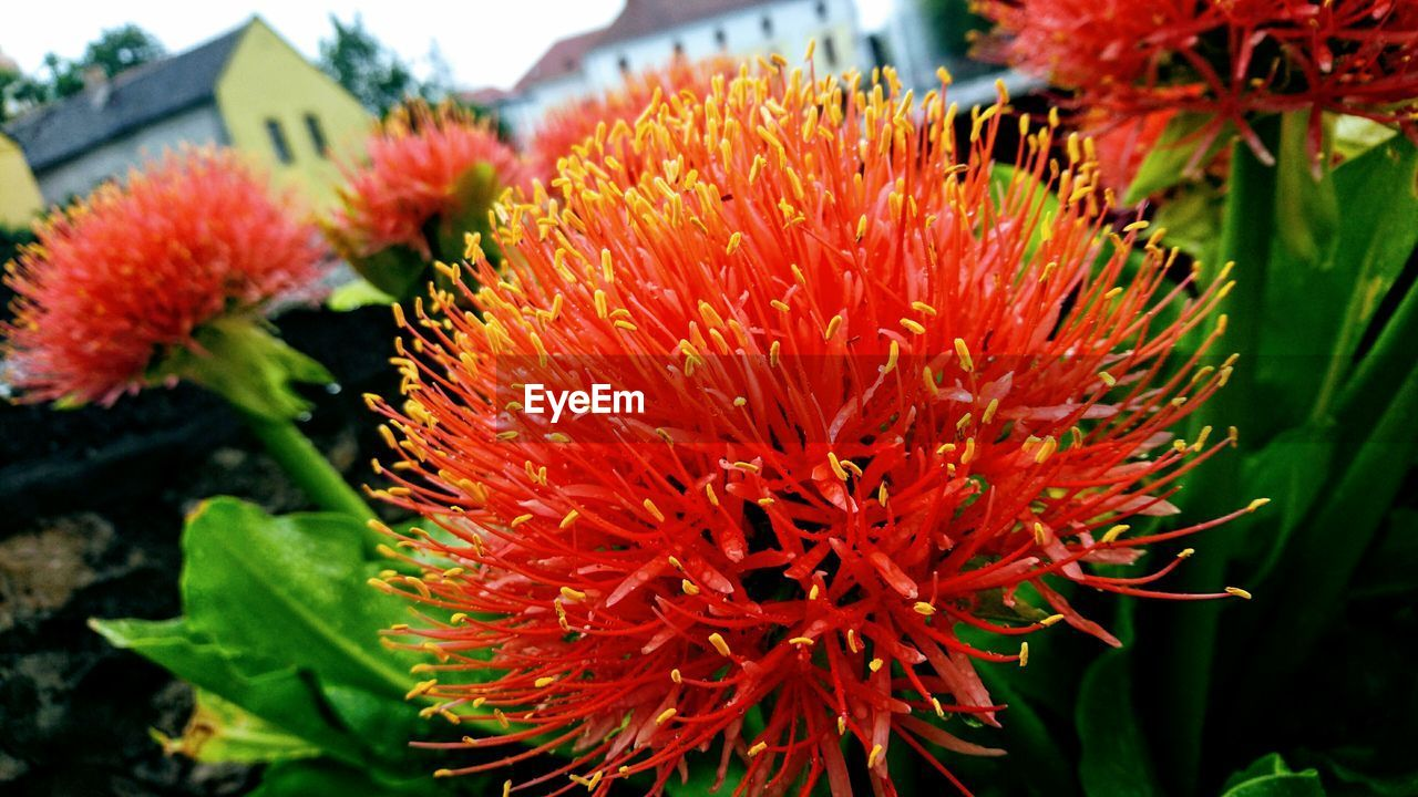flower, growth, beauty in nature, nature, freshness, fragility, red, flower head, petal, plant, blooming, day, outdoors, close-up, park - man made space, no people, springtime