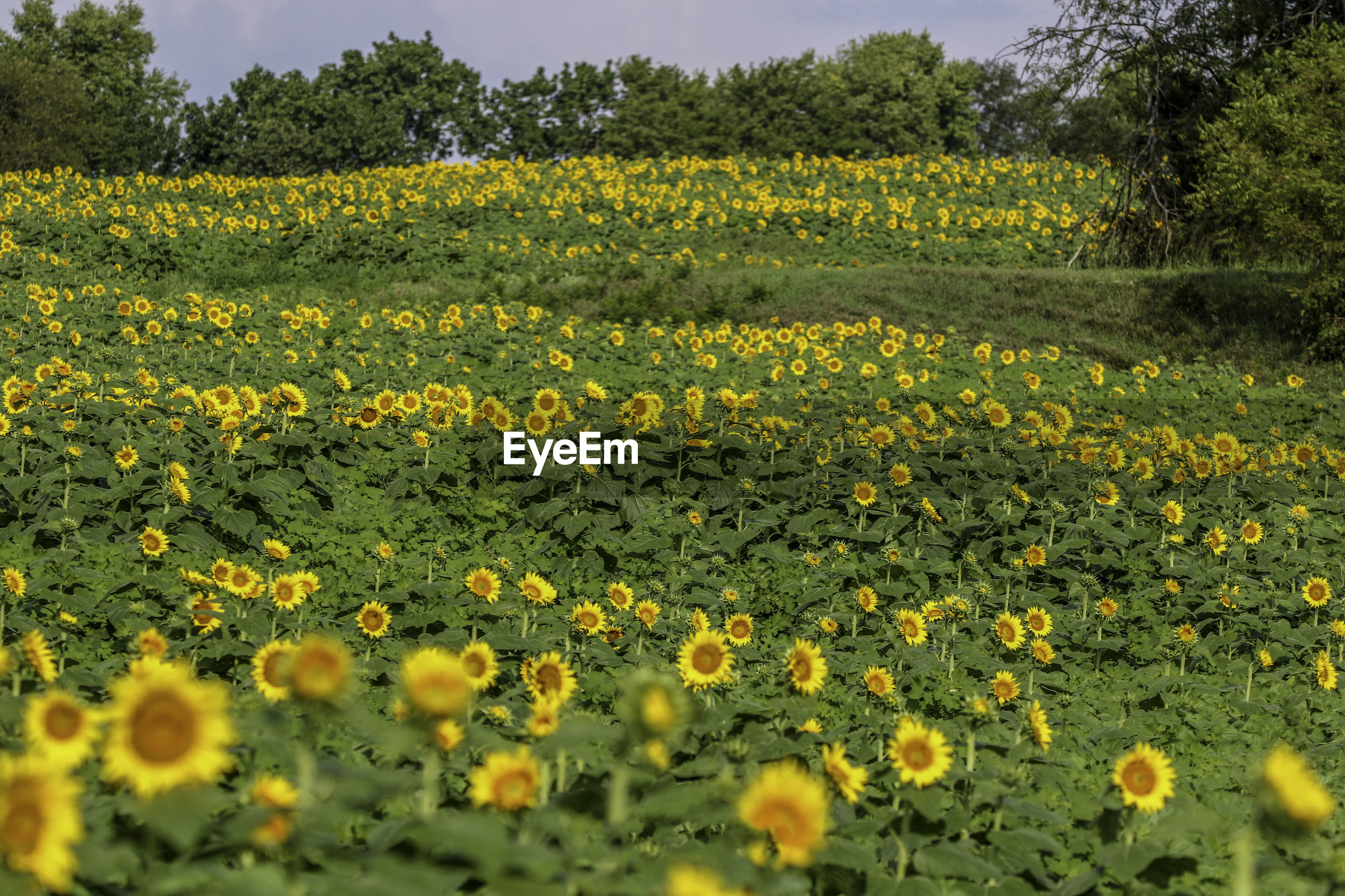 SCENIC VIEW OF YELLOW FLOWERING FIELD