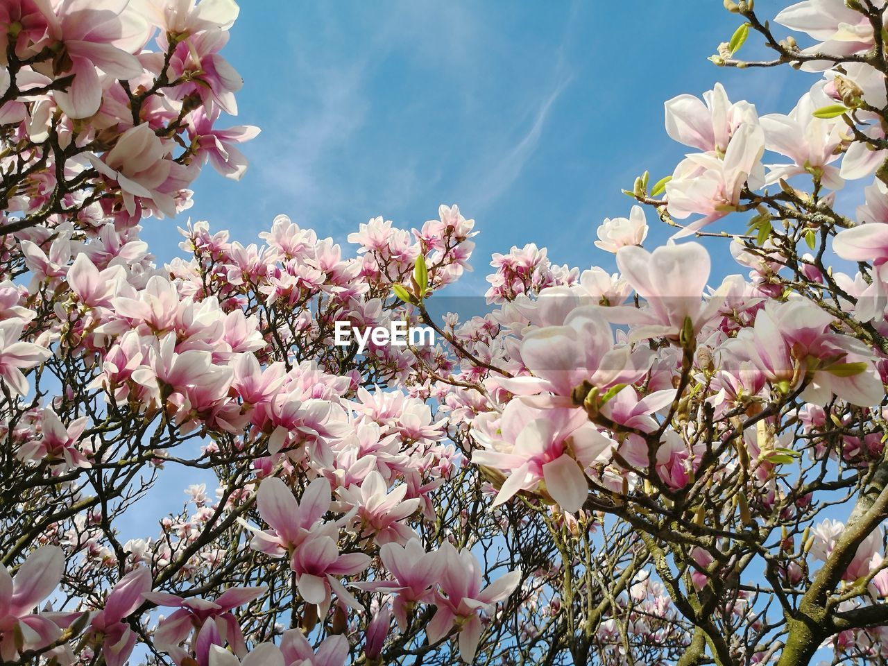 plant, flower, flowering plant, freshness, tree, fragility, pink color, growth, branch, vulnerability, beauty in nature, blossom, low angle view, springtime, nature, petal, close-up, cherry blossom, day, magnolia, no people, outdoors, cherry tree, flower head, spring