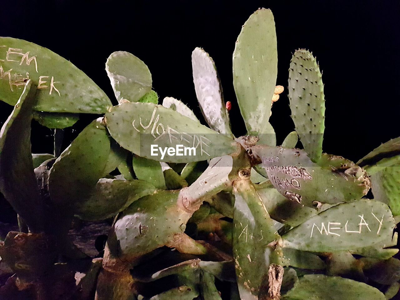 plant, growth, succulent plant, close-up, cactus, beauty in nature, green color, nature, no people, leaf, plant part, wet, water, prickly pear cactus, spiked, fragility, drop, day, vulnerability, outdoors