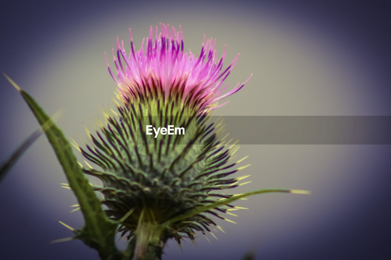 flower, nature, beauty in nature, growth, spiked, fragility, plant, thistle, focus on foreground, freshness, no people, close-up, day, outdoors, flower head