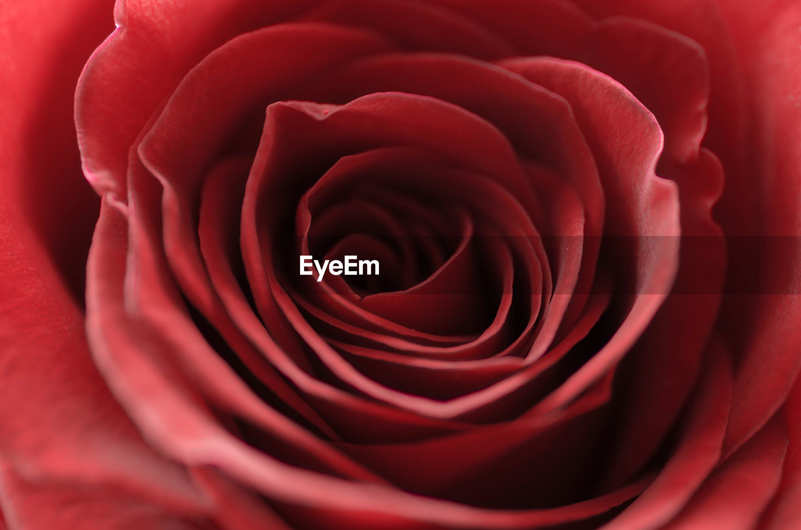 EXTREME CLOSE-UP OF RED ROSE