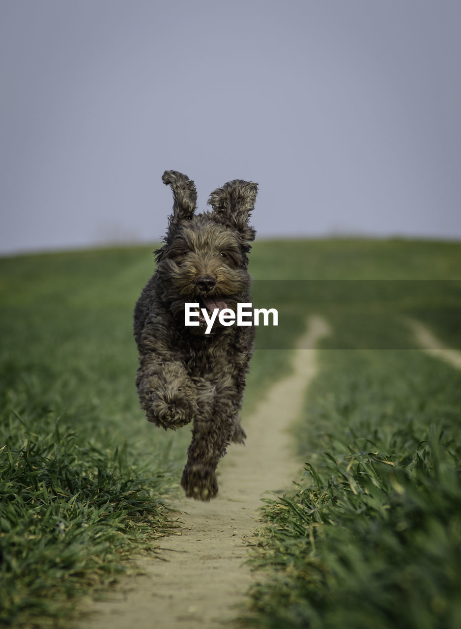 dog, canine, pets, domestic, one animal, domestic animals, animal themes, mammal, animal, grass, field, plant, selective focus, land, vertebrate, nature, no people, running, sky, day, mouth open