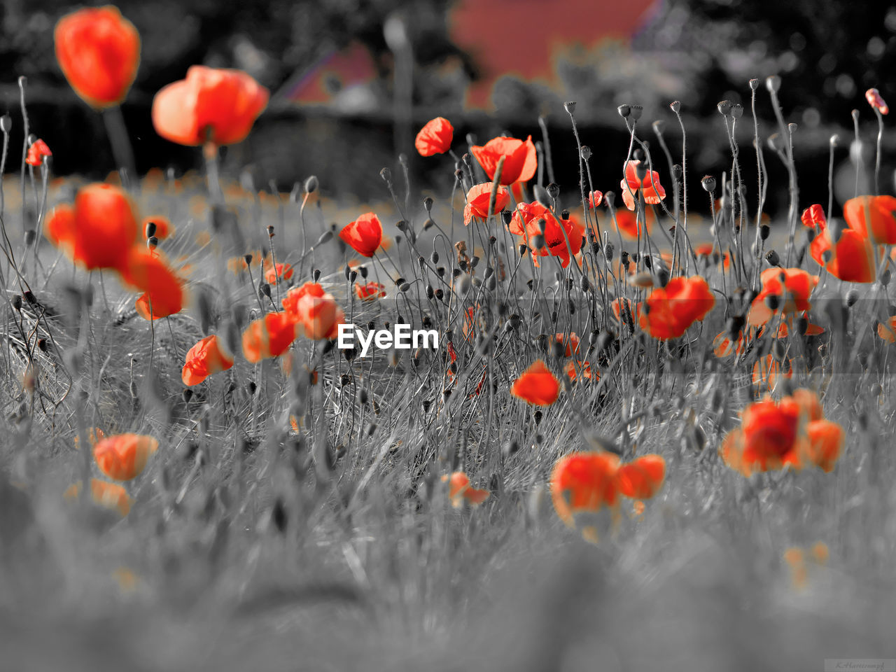 orange color, red, plant, growth, nature, selective focus, flower, no people, beauty in nature, outdoors, day, poppy, close-up, fragility, freshness