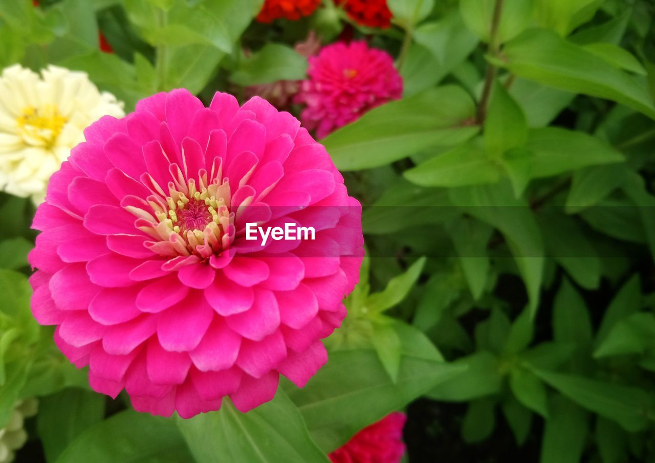 flowering plant, flower, plant, fragility, vulnerability, growth, beauty in nature, petal, freshness, flower head, inflorescence, pink color, close-up, plant part, leaf, nature, focus on foreground, zinnia, green color, no people
