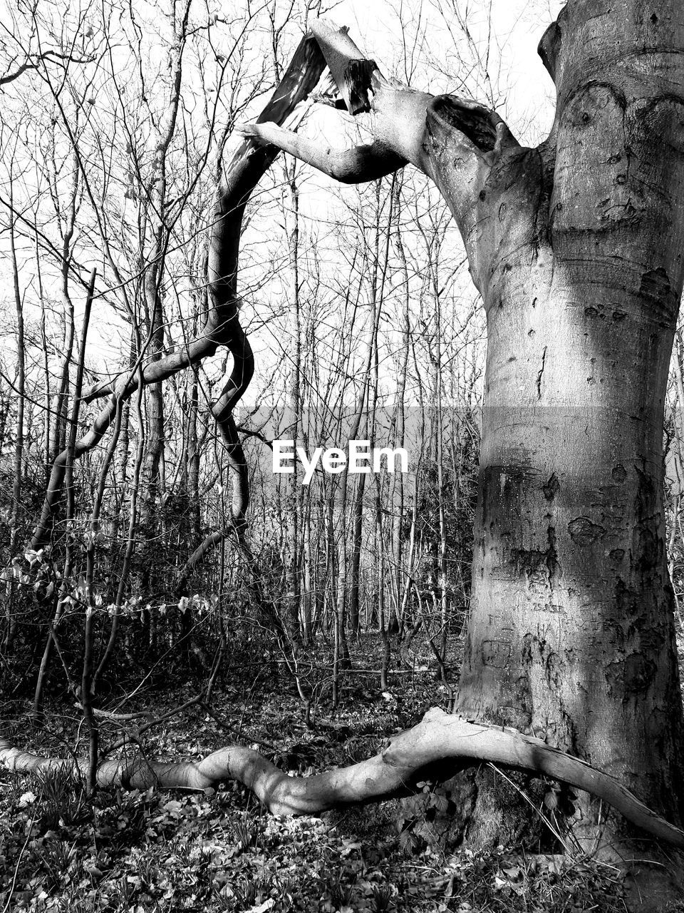 tree, plant, bare tree, trunk, forest, branch, nature, tree trunk, land, day, tranquility, no people, woodland, outdoors, growth, non-urban scene, field, environment, dead plant
