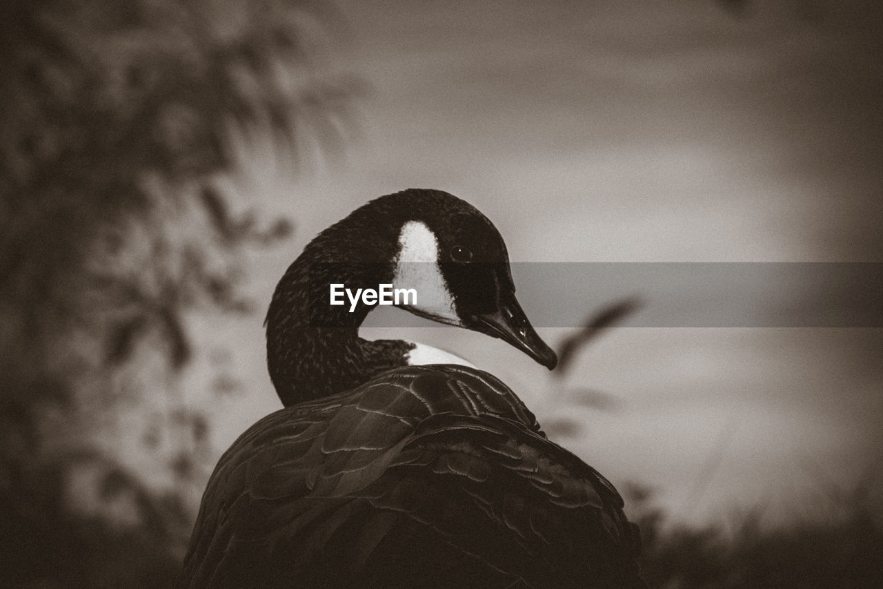 one animal, animal themes, animals in the wild, bird, focus on foreground, animal wildlife, nature, no people, outdoors, beak, close-up, day, sky, black swan, swan