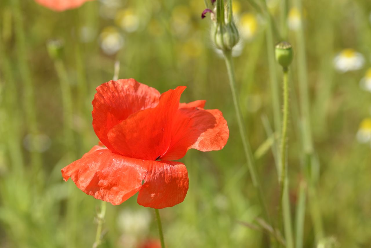 flowering plant, flower, plant, red, beauty in nature, freshness, petal, fragility, close-up, inflorescence, growth, vulnerability, flower head, poppy, focus on foreground, nature, no people, plant stem, day, outdoors