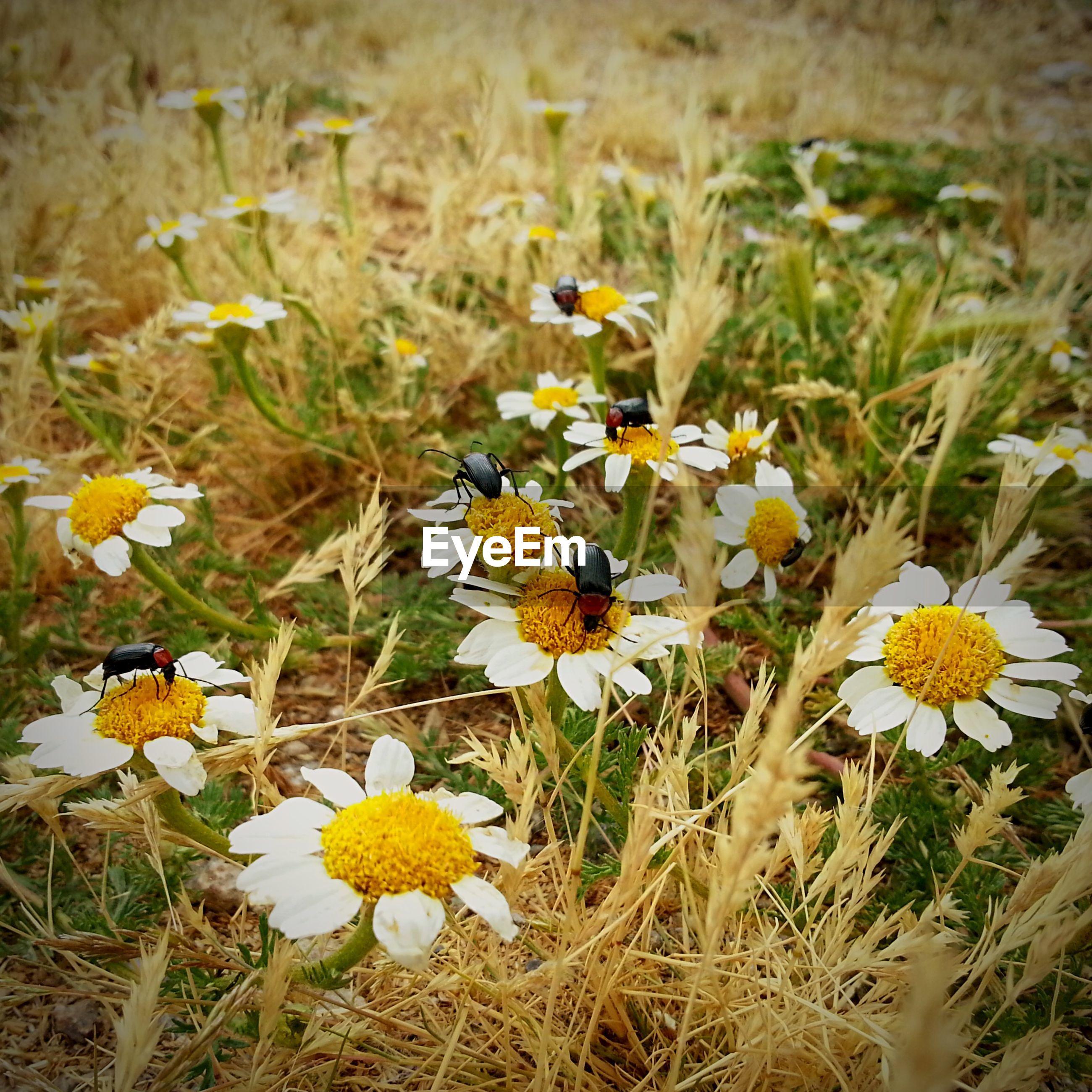 Beetles on flower blooming at field