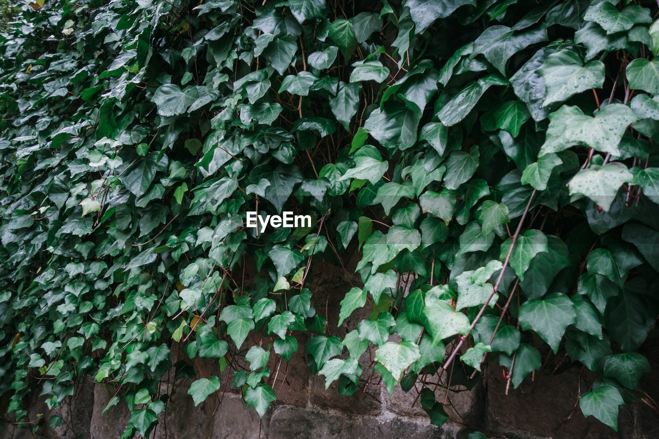 leaf, plant part, growth, green color, ivy, plant, nature, day, creeper plant, no people, beauty in nature, outdoors, close-up, wall - building feature, freshness, full frame, covering, tranquility, land, architecture, leaves