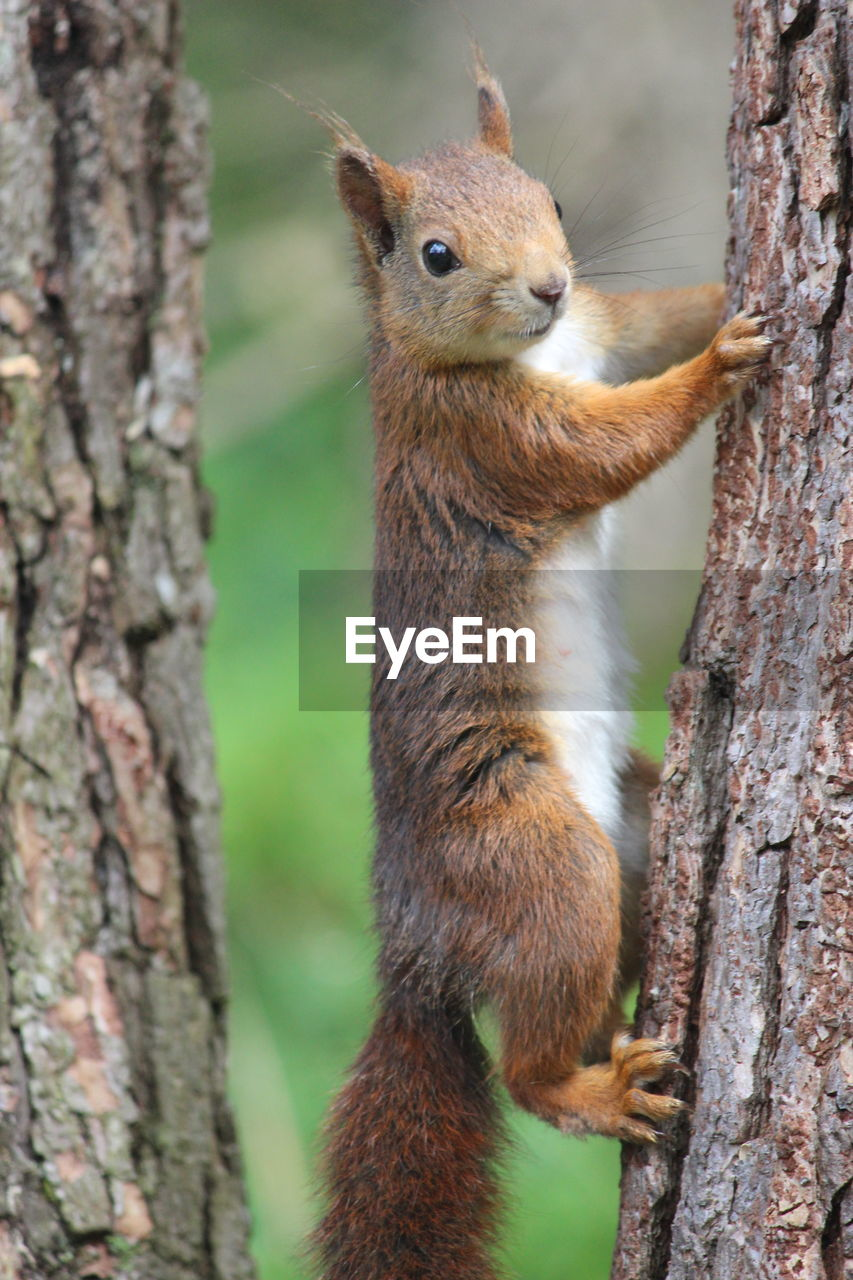 animal themes, animal, animal wildlife, one animal, animals in the wild, rodent, tree, mammal, trunk, tree trunk, squirrel, focus on foreground, vertebrate, no people, plant, day, nature, close-up, branch, outdoors, whisker, herbivorous