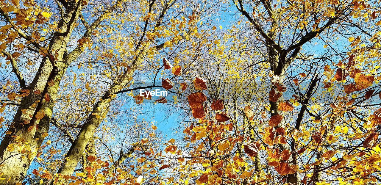 tree, plant, autumn, low angle view, no people, beauty in nature, branch, day, change, nature, growth, backgrounds, sky, full frame, yellow, tranquility, trunk, tree trunk, outdoors, plant part, tree canopy, natural condition, fall