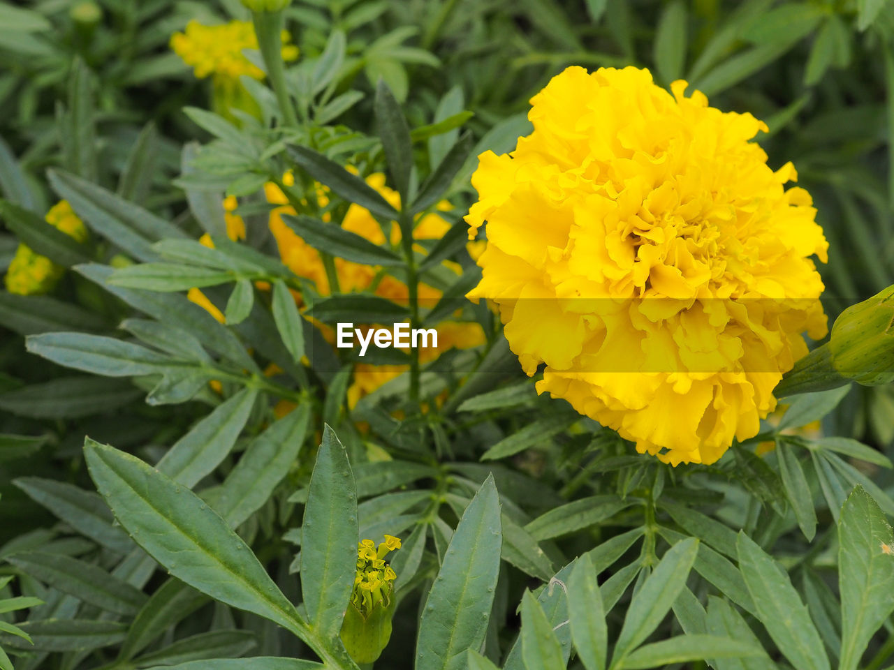 flower, yellow, freshness, fragility, growth, plant, nature, beauty in nature, petal, green color, outdoors, no people, close-up, day, flower head, leaf, blooming, marigold