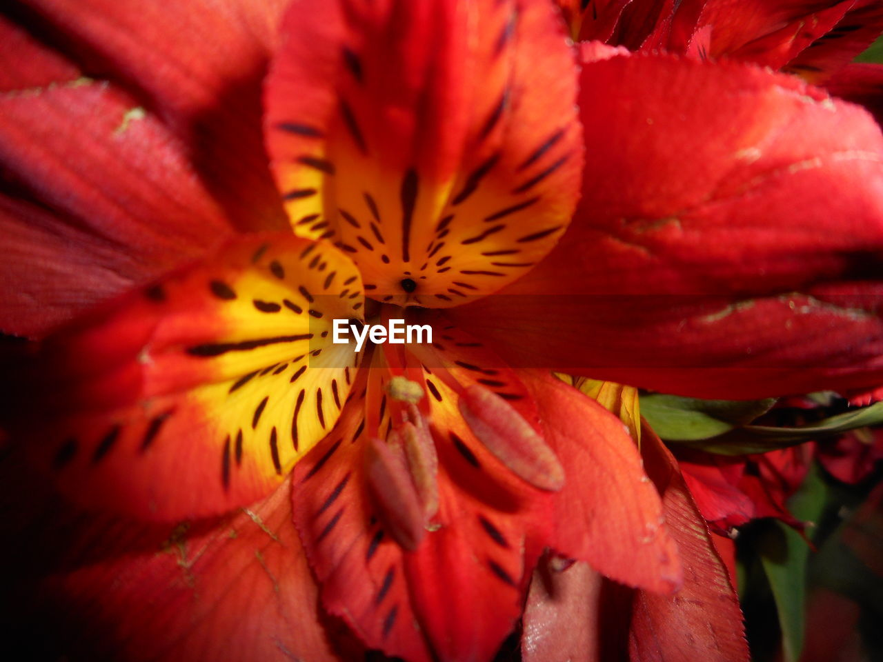 flower, petal, flower head, fragility, growth, beauty in nature, freshness, nature, close-up, pollen, red, stamen, no people, day, blooming, springtime, plant, outdoors, day lily