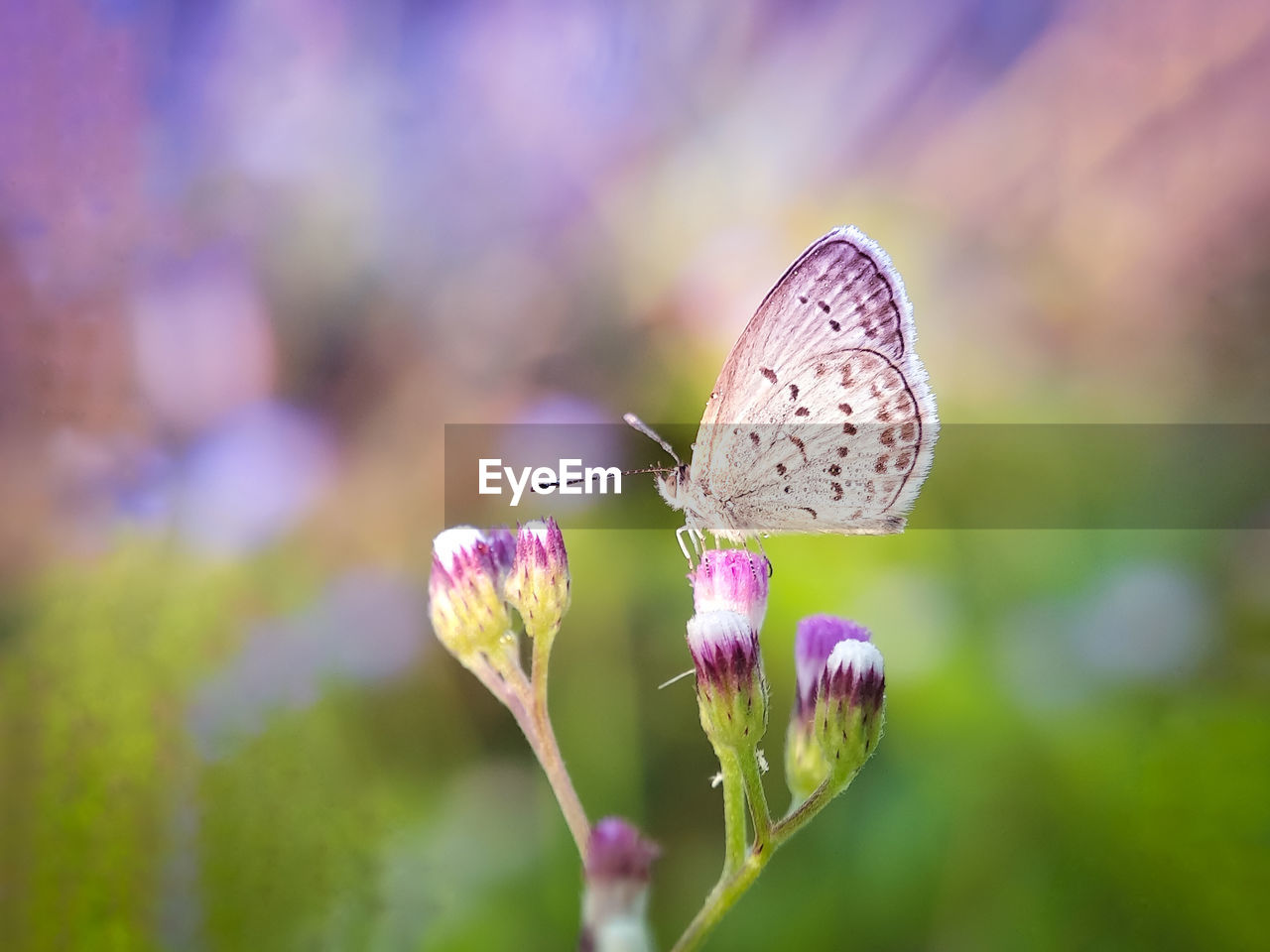 flower, flowering plant, beauty in nature, plant, animal wildlife, insect, fragility, vulnerability, invertebrate, animal, close-up, animals in the wild, animal themes, animal wing, freshness, butterfly - insect, growth, one animal, focus on foreground, flower head, pink color, pollination, no people, outdoors, butterfly, purple
