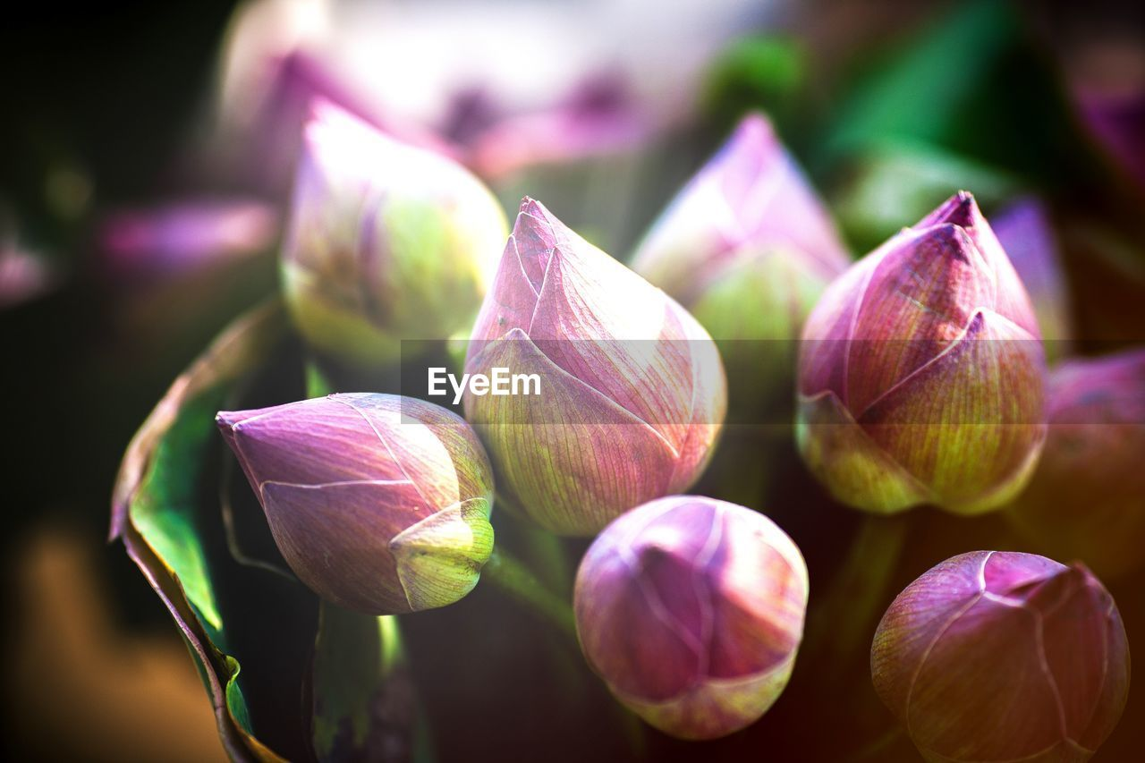 freshness, close-up, beauty in nature, flower, flowering plant, no people, plant, vulnerability, fragility, bud, focus on foreground, petal, growth, purple, nature, selective focus, day, inflorescence, flower head, outdoors