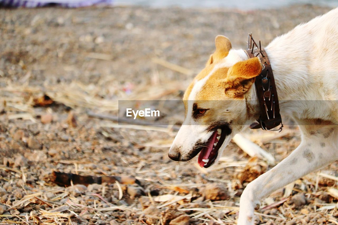 animal themes, animal, one animal, domestic, domestic animals, mammal, pets, canine, dog, vertebrate, land, no people, day, nature, looking, field, focus on foreground, animal body part, collar, outdoors, mouth open, animal mouth, animal head