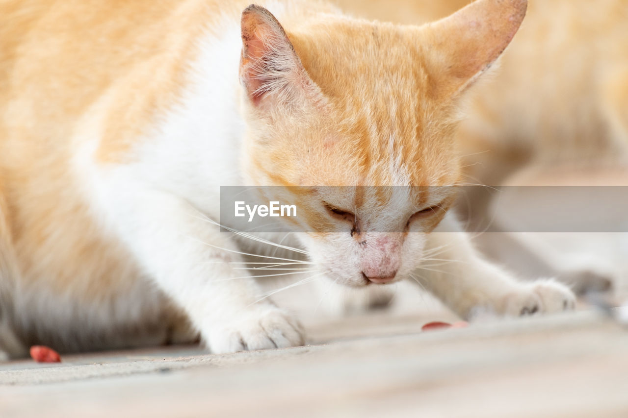 mammal, animal themes, animal, feline, domestic, pets, domestic cat, domestic animals, one animal, cat, vertebrate, whisker, close-up, no people, selective focus, day, relaxation, looking, animal body part, looking away, animal head, ginger cat, animal eye