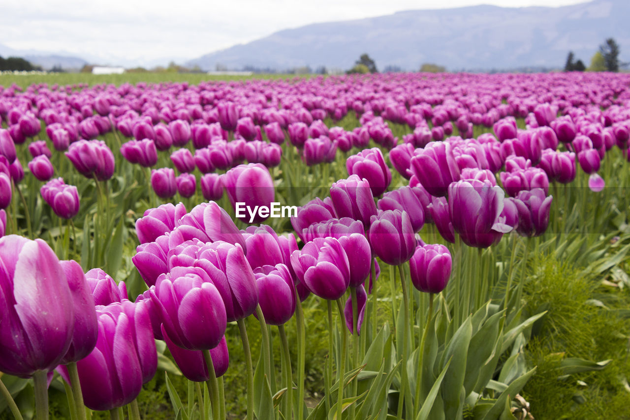 High Angle View Of Tulips Growing On Field