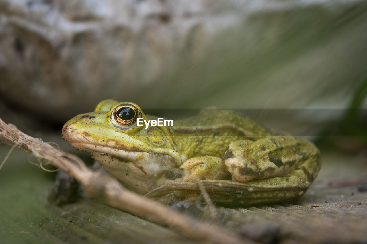animal, animal themes, one animal, animals in the wild, animal wildlife, vertebrate, close-up, amphibian, selective focus, reptile, frog, animal body part, no people, eye, nature, day, animal eye, looking, animal head, green color, animal scale
