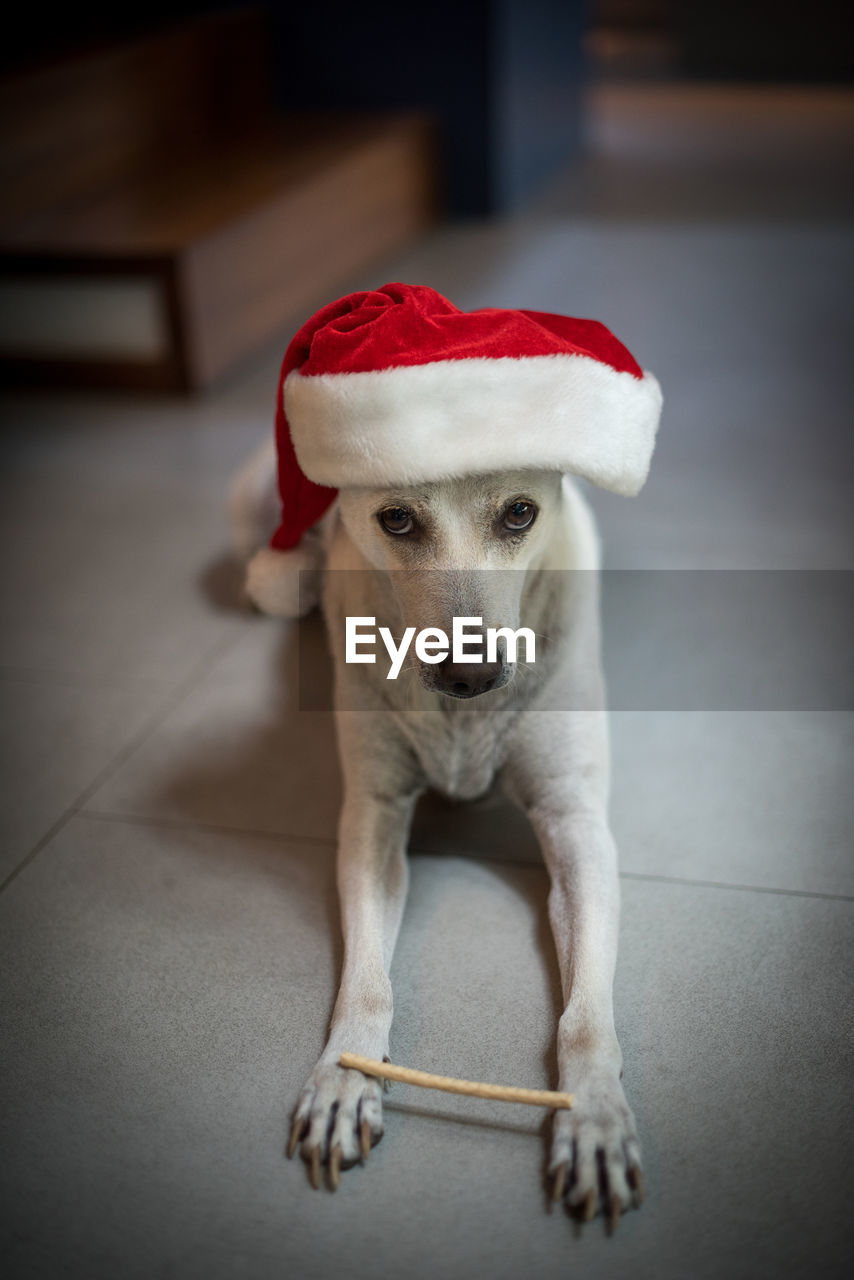 one animal, pets, domestic, canine, dog, animal themes, domestic animals, mammal, animal, indoors, santa hat, portrait, vertebrate, focus on foreground, looking at camera, flooring, hat, christmas, full length, red