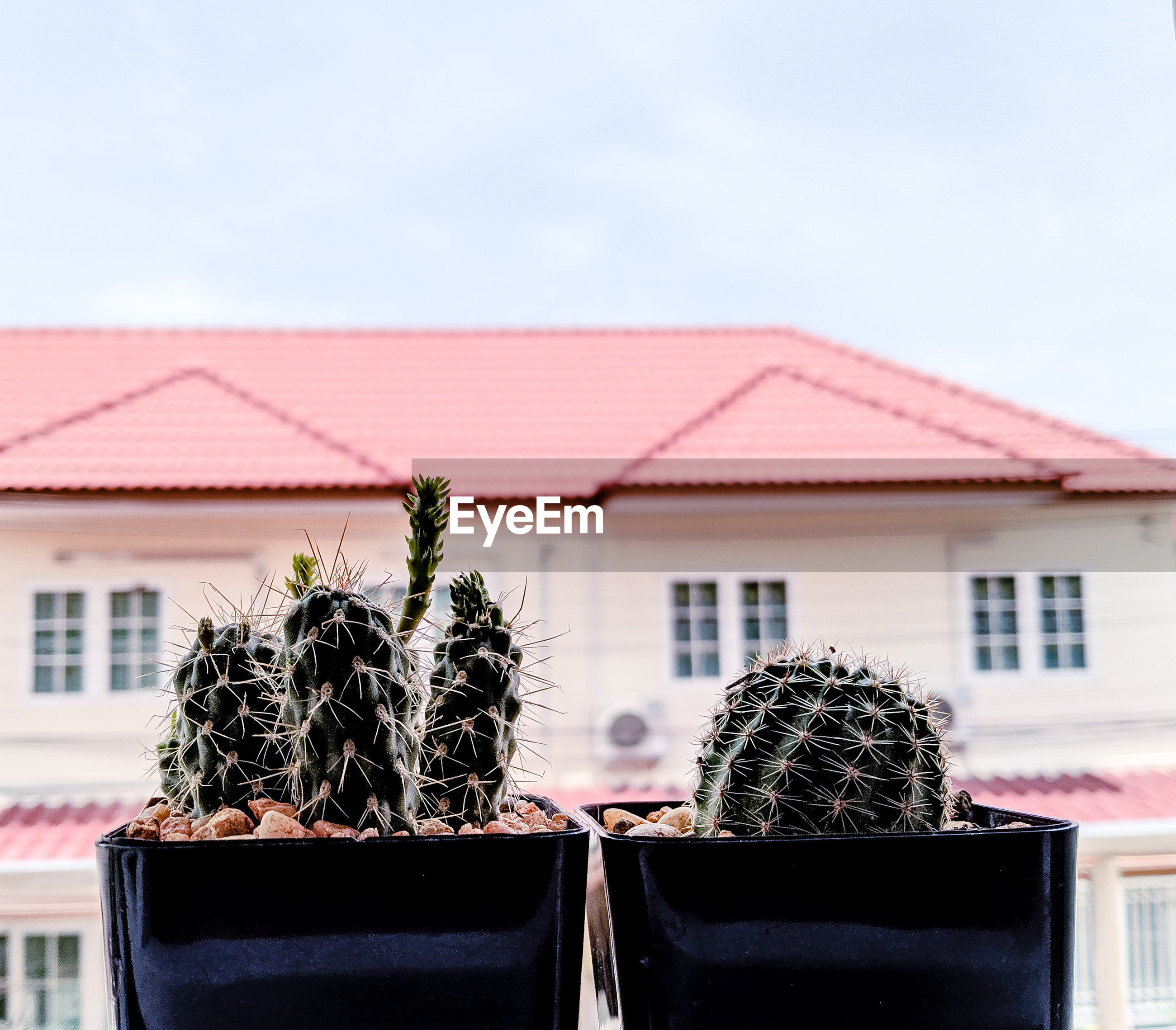 Close-up of potted cactus plant against building