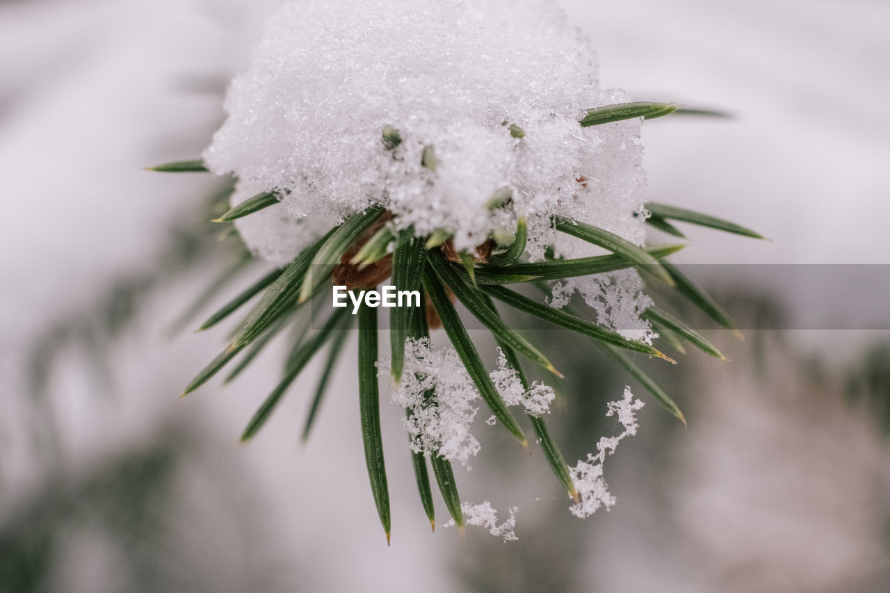 cold temperature, snow, winter, plant, beauty in nature, close-up, frozen, flower, white color, nature, fragility, vulnerability, ice, flowering plant, focus on foreground, day, no people, freshness, selective focus, flower head, outdoors, extreme weather, blizzard, pine tree, snowing, coniferous tree