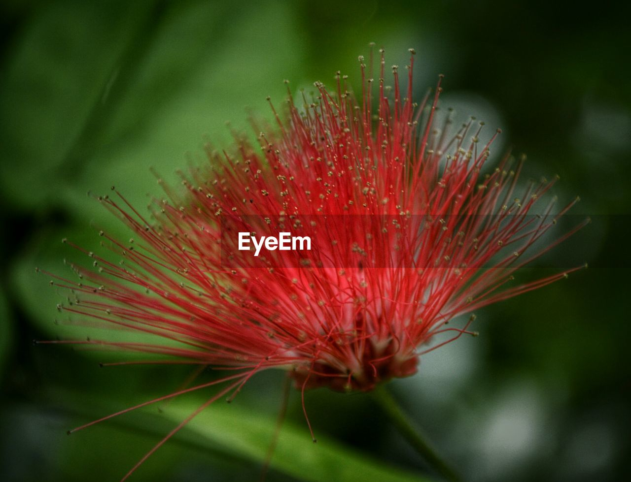 High angle view of red calliandra flower growing outdoors