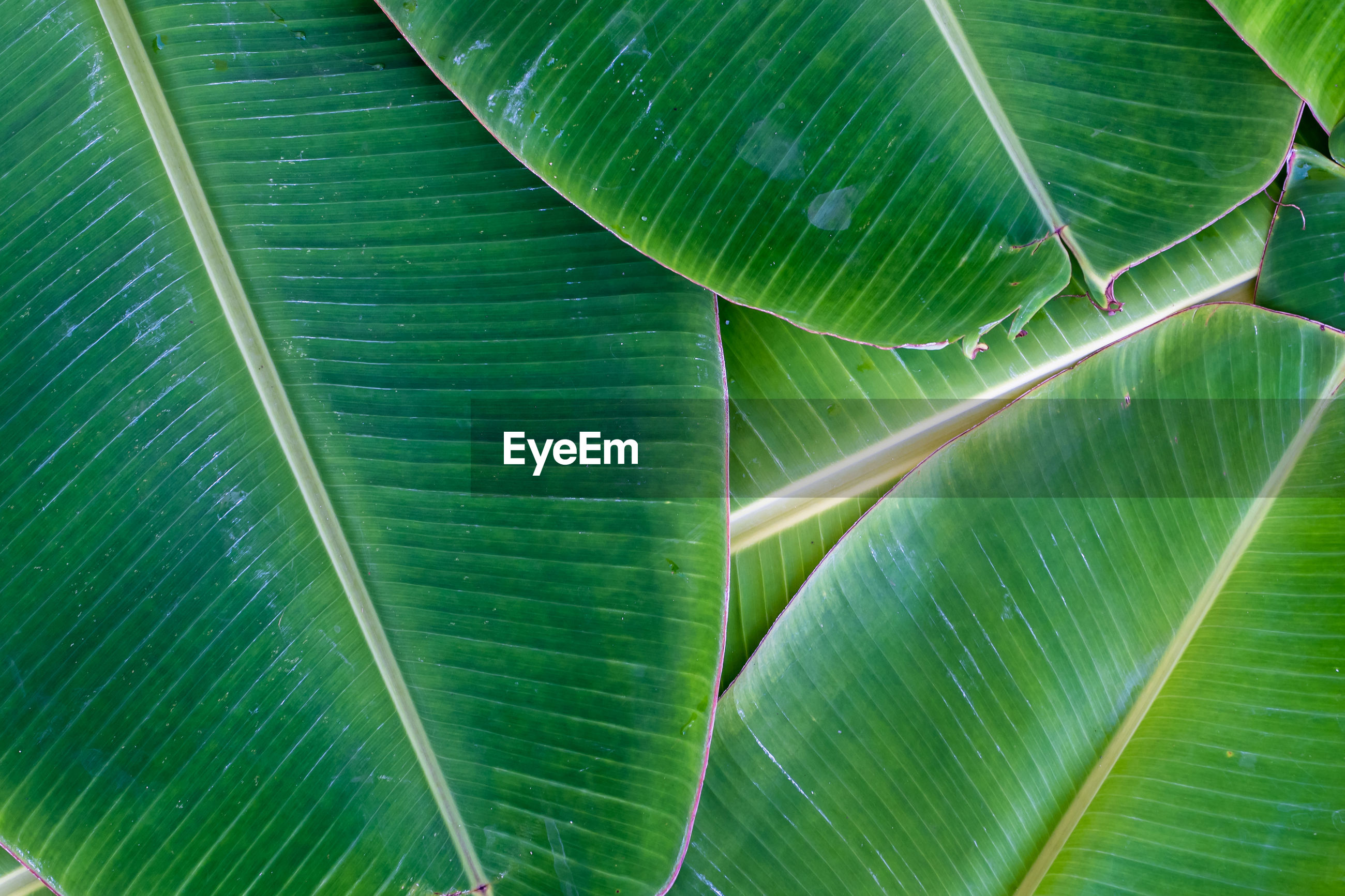 FULL FRAME SHOT OF PALM LEAF WITH LEAVES