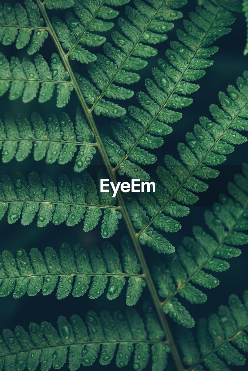 Detail shot of rain drops on green fern leaves