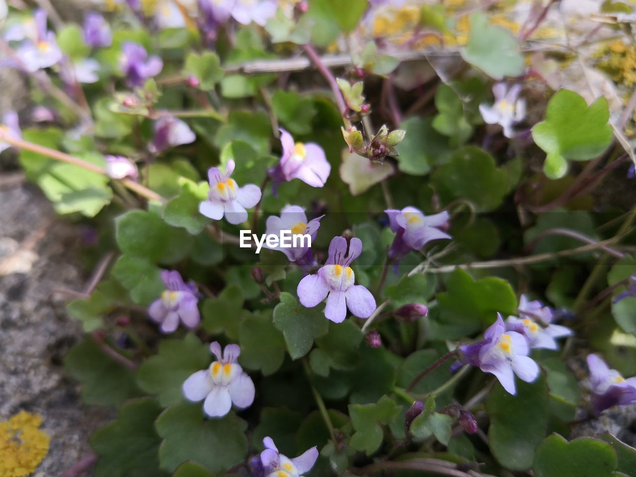 flowering plant, flower, plant, beauty in nature, fragility, freshness, growth, vulnerability, petal, day, close-up, flower head, plant part, no people, nature, inflorescence, leaf, outdoors, high angle view, selective focus, purple