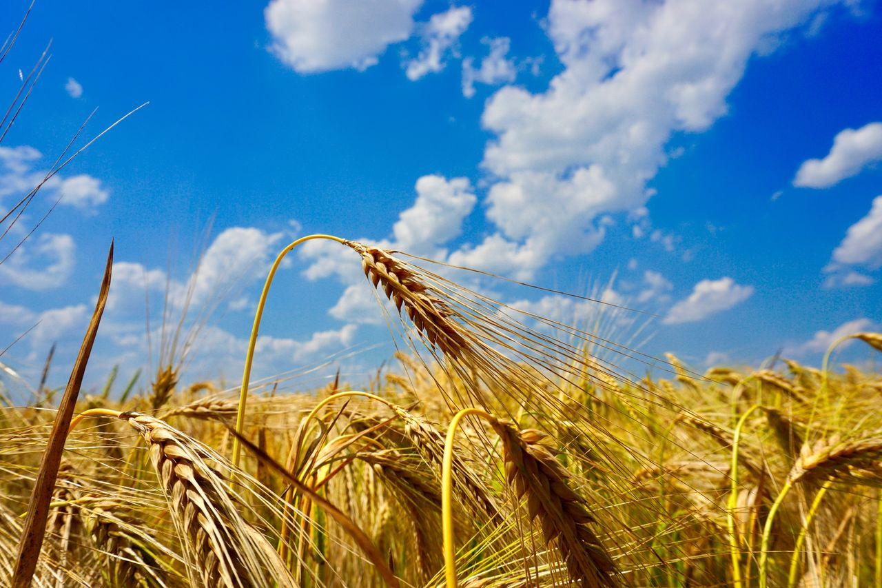 agriculture, crop, cereal plant, rural scene, growth, sky, field, cloud - sky, wheat, plant, farm, landscape, land, nature, day, close-up, no people, beauty in nature, environment, focus on foreground, outdoors, ripe, stalk, rye - grain