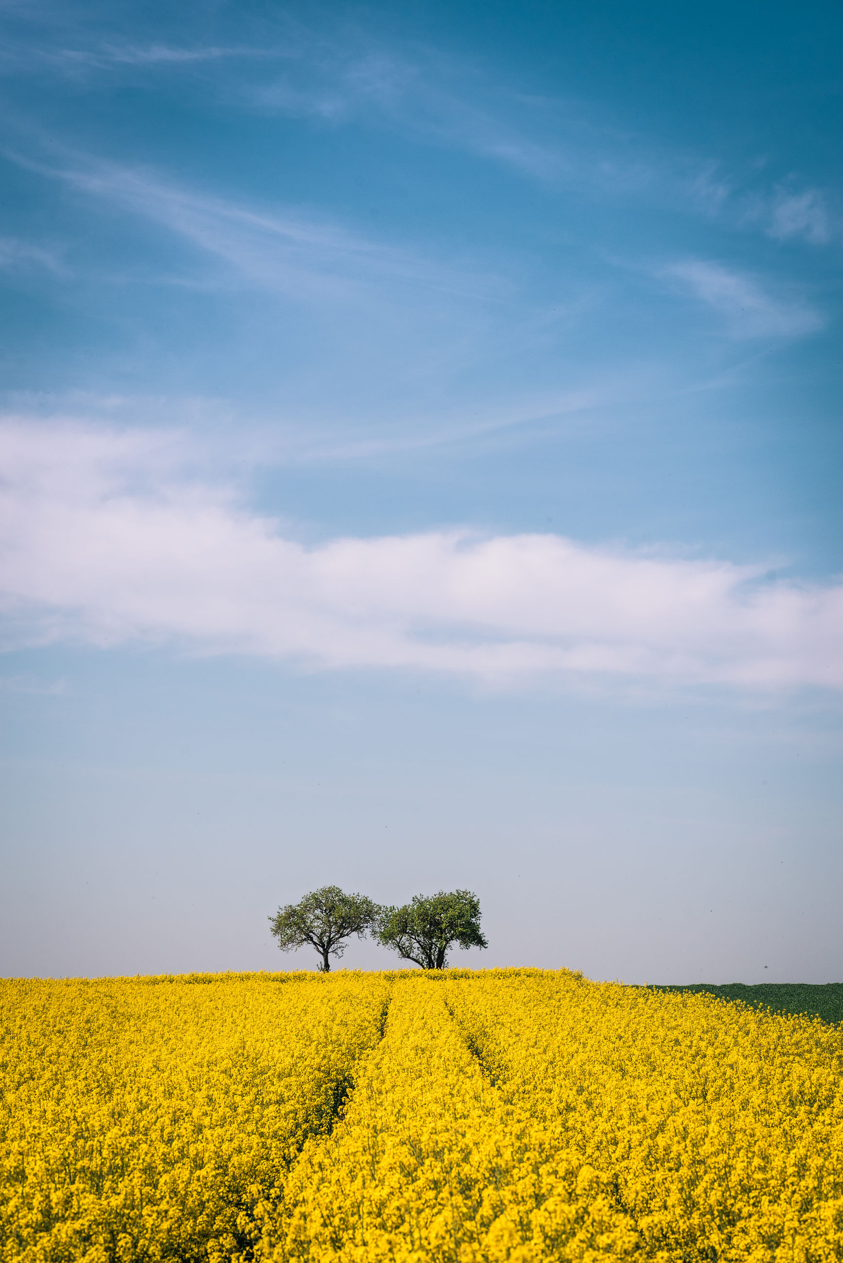 VIEW OF OILSEED RAPE FIELD AGAINST SKY