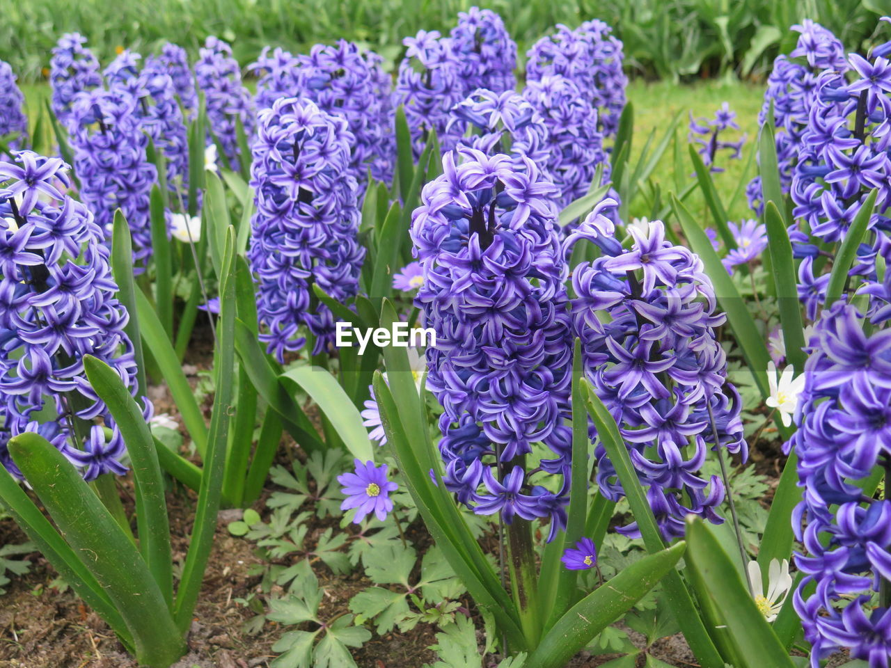 flowering plant, flower, plant, vulnerability, purple, fragility, beauty in nature, growth, freshness, petal, close-up, nature, plant part, leaf, day, inflorescence, flower head, no people, hyacinth, botany, flowerbed