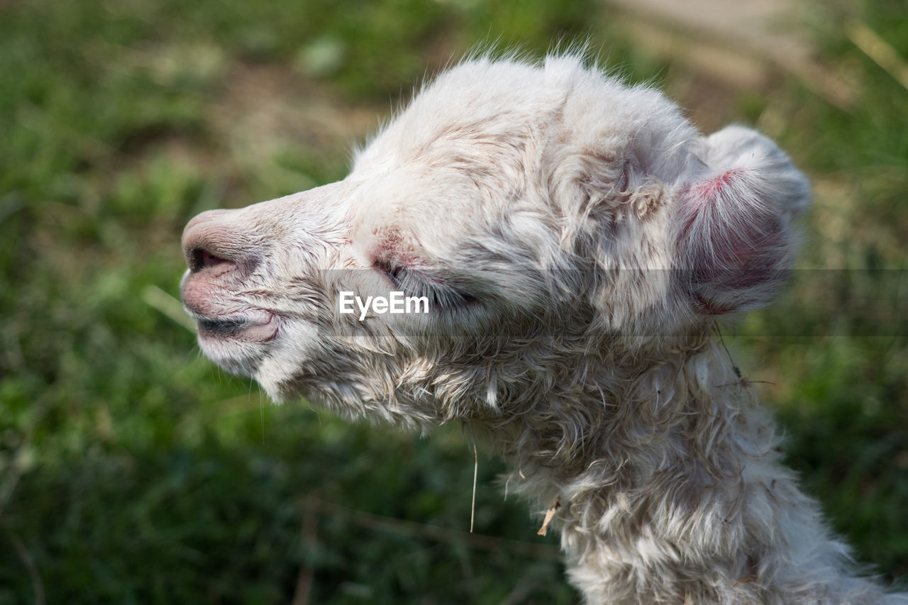 domestic animals, one animal, pets, animal themes, mammal, domestic, animal, dog, canine, vertebrate, focus on foreground, animal hair, day, no people, nature, close-up, hair, animal body part, land, looking, animal head