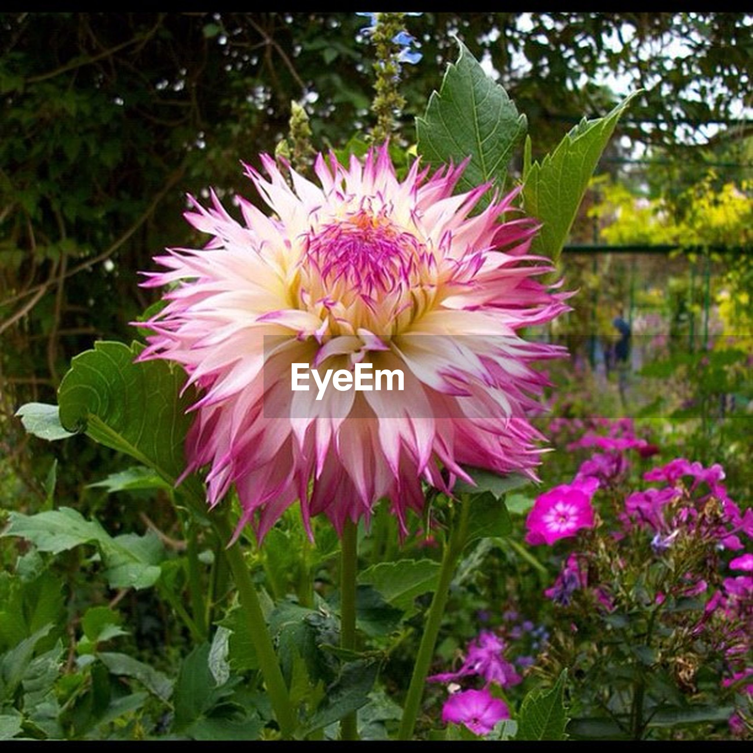 flower, petal, freshness, fragility, flower head, growth, beauty in nature, pink color, blooming, plant, nature, close-up, focus on foreground, in bloom, single flower, blossom, pollen, outdoors, park - man made space, day