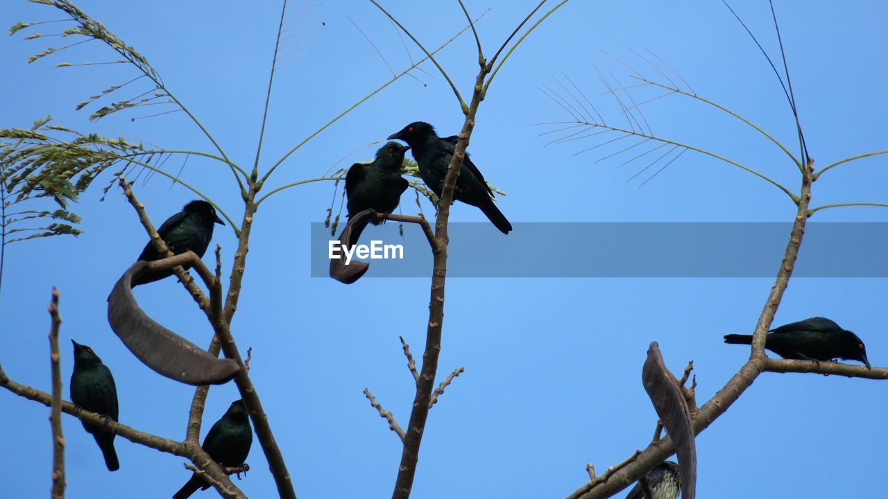 Low Angle View Of Birds Perching On Bare Tree Against Clear Blue Sky