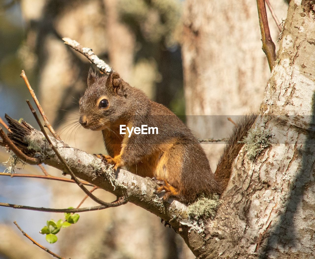 animal, animal themes, animal wildlife, tree, mammal, animals in the wild, rodent, one animal, branch, squirrel, plant, vertebrate, tree trunk, nature, focus on foreground, trunk, day, no people, outdoors, close-up