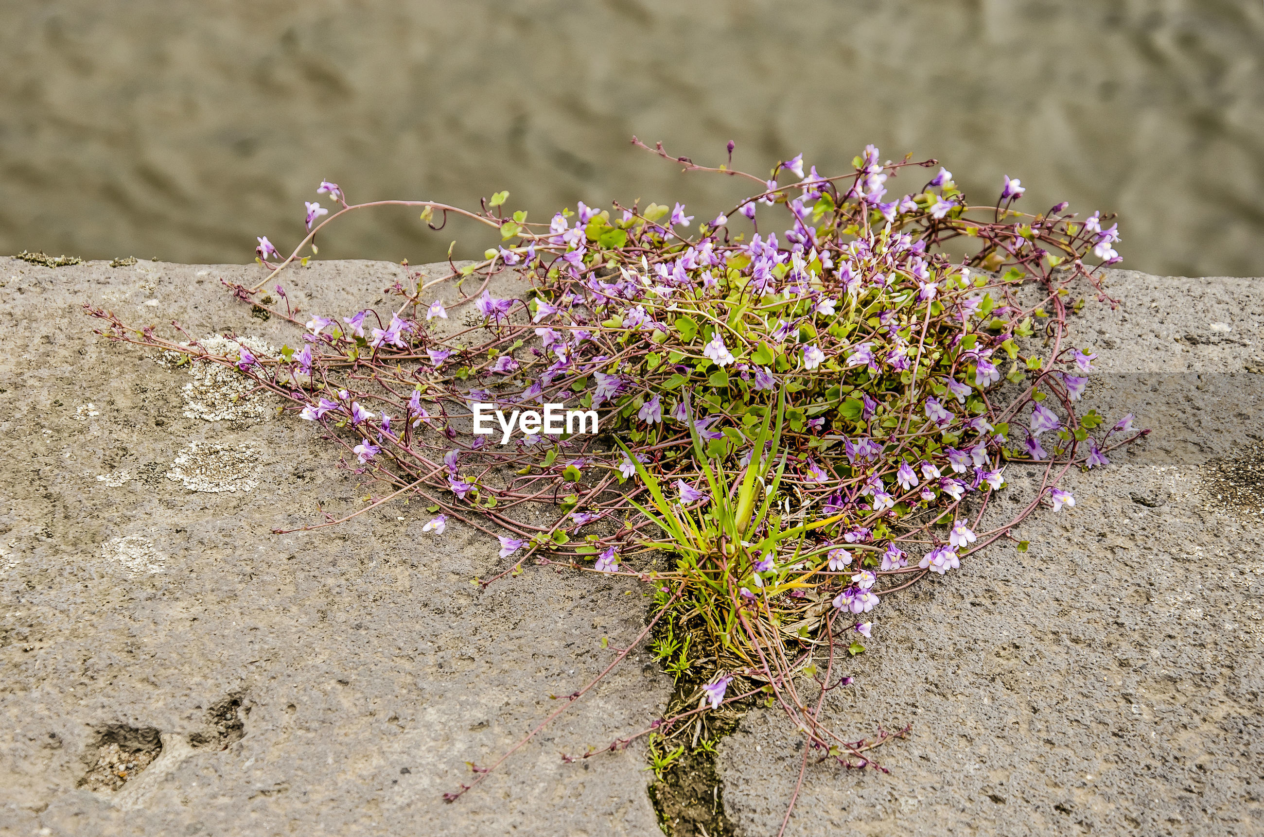 CLOSE-UP OF PURPLE FLOWERING PLANTS ON SAND