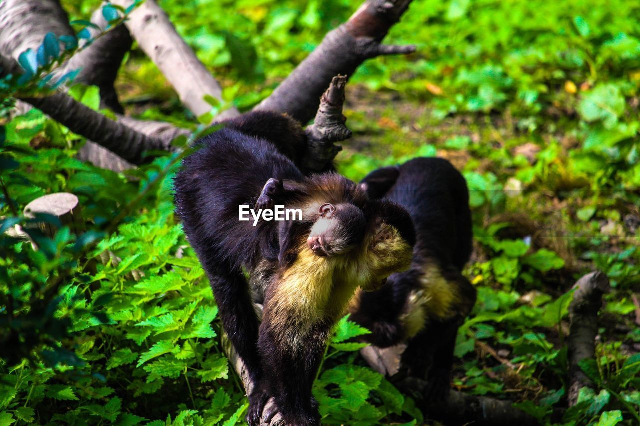 mammal, animal themes, animal, group of animals, primate, animal wildlife, vertebrate, nature, plant, animals in the wild, no people, two animals, monkey, land, tree, young animal, forest, black color, day, outdoors, animal family, rainforest